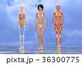 筋肉 骨格 解剖のイラスト 36300775