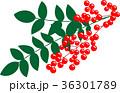 南天 実 植物のイラスト 36301789