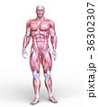 男性人体模型 36302307