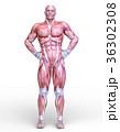男性人体模型 36302308