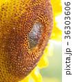 ひまわり 向日葵 花の写真 36303606