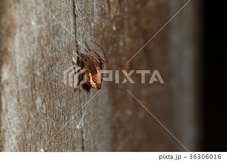 生き物 蜘蛛 カラオニグモ、成体で五ミリほどの小さいオニグモ。三ミリくらいの越冬中幼体です 36306016