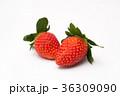 いちご イチゴ 苺の写真 36309090