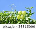 フウセンカズラ 実 植物の写真 36316000