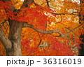 楓の紅葉 36316019