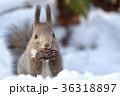 雪の中のエゾリス 36318897