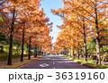 メタセコイア 並木道 秋の写真 36319160