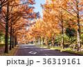メタセコイア 並木道 秋の写真 36319161