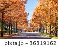 メタセコイア 並木道 秋の写真 36319162