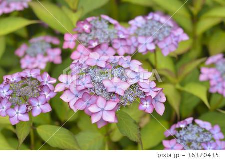 アジサイの花 36320435
