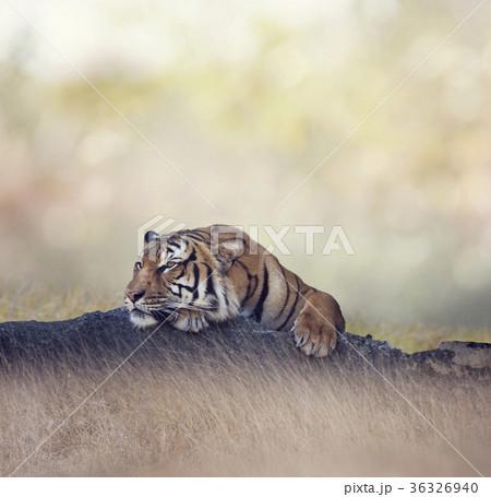 Bengal tiger restingの写真素材 [36326940] - PIXTA