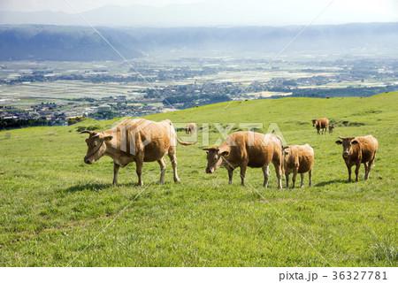阿蘇の高原のあか牛の行列 36327781