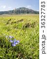 ハルリンドウ 花 草千里の写真 36327783