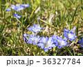 花 咲く 春竜胆の写真 36327784