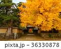 銀杏 秋 紅葉の写真 36330878