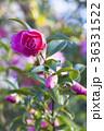 山茶花 サザンカ 花の写真 36331522