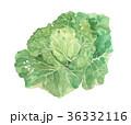 キャベツ 水彩画 水彩のイラスト 36332116