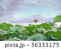 蓮畑の夕景 36333175