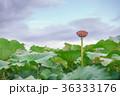 蓮畑の夕景 36333176