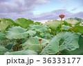 蓮畑の夕景 36333177