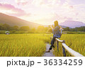 Woman traveler admiring yellow rice field scenery 36334259