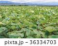 レンコン畑 36334703