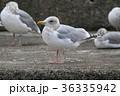野鳥 鳥 カモメの写真 36335942