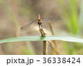 アキアカネ 赤とんぼ トンボの写真 36338424