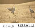 タンチョウ 鶴 ダンスの写真 36339118