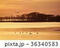 夕暮れの野付半島に浮かぶハクチョウ(北海道) 36340583