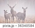 霧の奏で出会ったエゾシカの群れ(北海道) 36340584