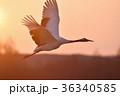 朝焼けとタンチョウの飛翔姿(北海道・鶴居) 36340585