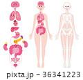 デフォルメ 人体 内臓のイラスト 36341223