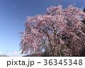 花 春 サクラの写真 36345348