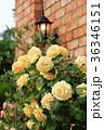 バラ 花 黄色の写真 36346151