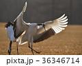 翼を広げて着陸する丹頂鶴(北海道・鶴居) 36346714