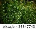 花 野草 ナズナの写真 36347743