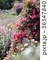 京成バラ園 ローズガーデン 花の写真 36347840
