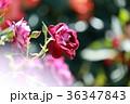 京成バラ園 ローズガーデン 花の写真 36347843