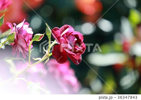 京成バラ園 赤いバラ 36347843