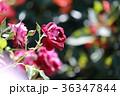 京成バラ園 ローズガーデン 花の写真 36347844