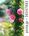 京成バラ園 ローズガーデン 花の写真 36347883