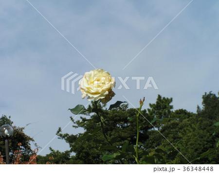 深まった秋の青空と白いバラ 36348448