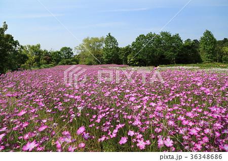 清水公園 むぎなでしこの花 36348686
