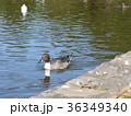 稲毛海浜公園に飛来したオナガガモ 36349340