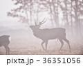 霧の中を歩くオスのエゾシカ(北海道) 36351056