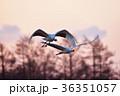 朝焼け 飛翔 丹頂鶴の写真 36351057