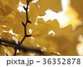 イチョウ 紅葉 36352878