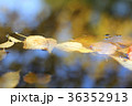紅葉の池  36352913