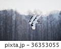 二羽のタンチョウの飛翔姿(北海道・鶴居) 36353055